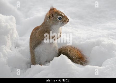 Eastern Red Squirrel hunting for food on forest floor (Tamiasciurus or Sciurus hudsonicus), Winter, E North America - Stock Photo