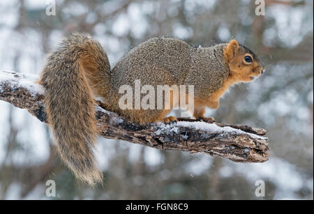 Eastern Fox Squirrel (Sciurus niger) on limb of tree, Winter, Eastern United States - Stock Photo