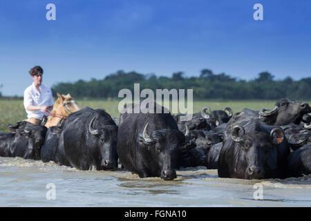 A cowboy herding Asian buffalo - Stock Photo