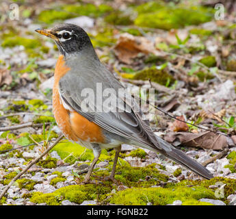 Beautiful male American Robin (Turdus migratorius) hunting for food - Stock Photo