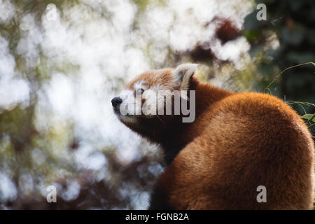 Cute Red Panda (Ailurus fulgens) looking at something - Stock Photo