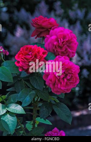 D Braithwaite David Austin-Rose L