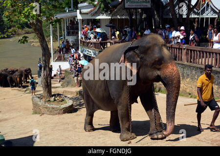 orphaned elephant being lead back to orphanage - Stock Photo