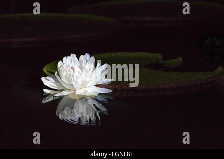 Amazon Waterlilly Opens at Night - Stock Photo