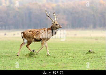 Young deer in autumn meadow - Stock Photo