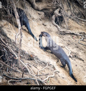 Giant-river otter (Pteronura brasiliensis), Guyana, South America - Stock Photo