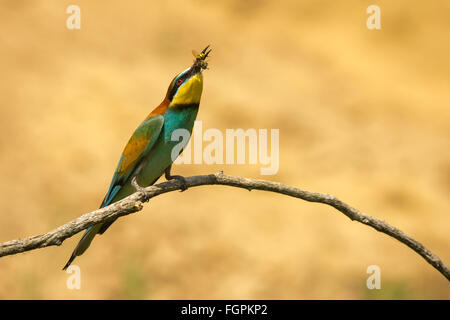 European Bee-eater (Merops apiaster) perched on a branch and holding a bee - Stock Photo