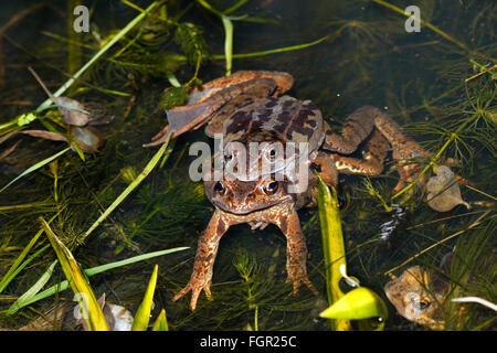 22nd February 2016.UK weather. These frogs are seen in a state of amplexus, a sure sign that spring has arrived. - Stock Photo