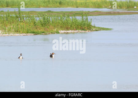 Pair Great crested Grebes swimming in water - Stock Photo