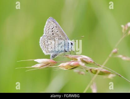 Male Common Blue butterfly (Polyommatus icarus) perched on a grass stem. - Stock Photo