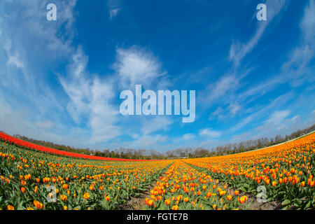 Tulip agricultural field with blue sky and clouds, fish eye, North Holland, Netherlands. - Stock Photo