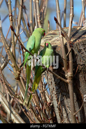 Pair of Ring-necked Parakeets.  Hurst Park, West Molesey, Surrey, England. - Stock Photo