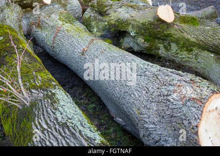 Cutting down a tree, felling a tree along a road, Baum fällen, Baumstamm, tree trunk, Gamprin, Liechtenstein