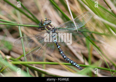 Common Hawker Dragonfly;  Aeshna juncea Single Male Cornwall; UK - Stock Photo