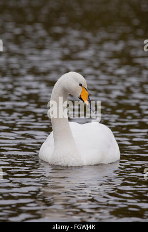 Whooper Swan; Cygnus cygnus Single on Water Cornwall; UK - Stock Photo