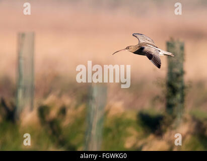 Curlew, Numenius arquata in flight, Norfolk - Stock Photo
