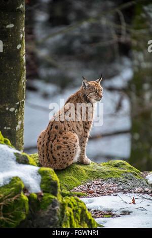 Eurasian lynx (Lynx lynx) sitting on rock in forest in the snow in winter - Stock Photo