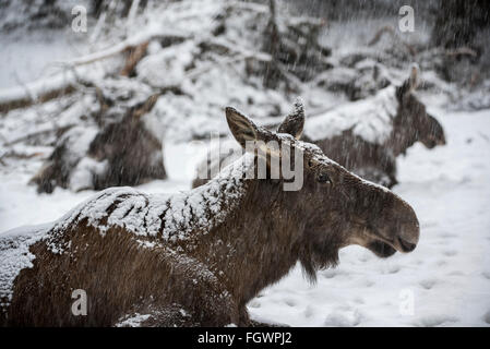 Moose / elk (Alces alces) close up of cow with two calves resting in the snow during snowstorm in winter - Stock Photo
