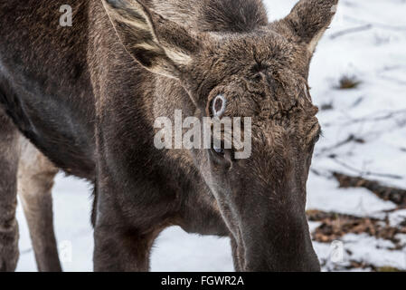 Moose / elk (Alces alces) close up of bull showing pedicel scars left behind on the attachment points for the antlers - Stock Photo