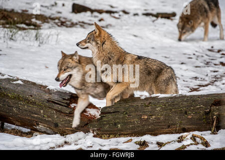 Gray wolves / grey wolf (Canis lupus) pack on the hunt stepping over fallen tree trunk in the snow in winter - Stock Photo