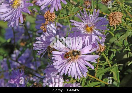 Hoverfly on Michaelmas Daisy flower. - Stock Photo