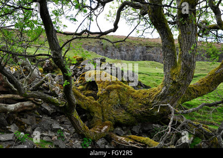 Moss covered Mountain ash tree, growing through limestone rocks on Black Mountains in South Wales, UK - Stock Photo