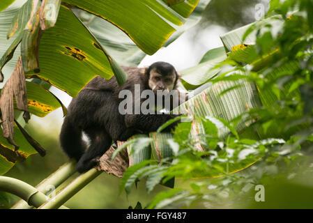 A Black Capuchin Monkey (Cebus nigritus) from the Atlantic Rainforest - Stock Photo