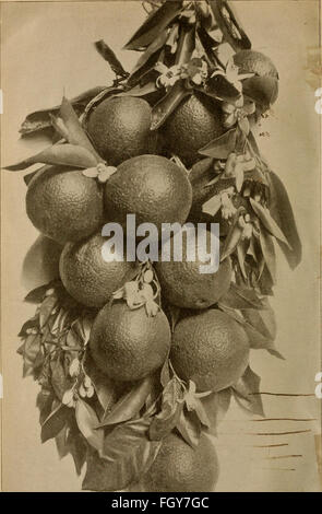 Culture of the citrus in California (1900) - Stock Photo