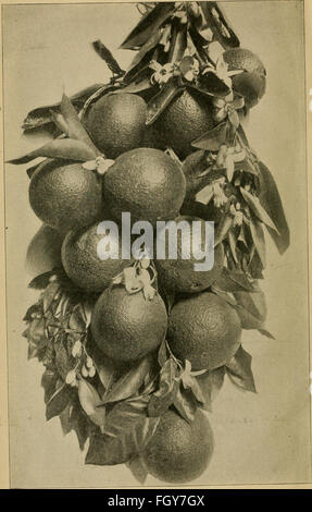 Culture of the citrus in California (1902) - Stock Photo