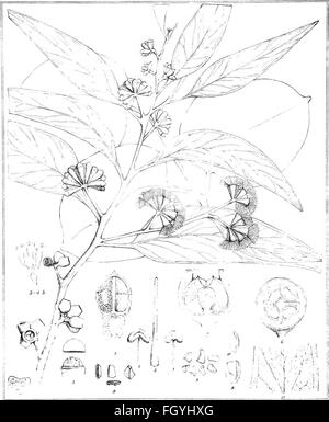 Eucalyptographia. A descriptive atlas of the eucalypts of Australia and the adjoining islands; (1879) - Stock Photo