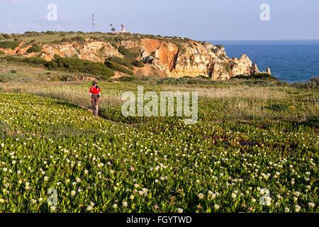 Woman walking through prickly pears in flower on coast path, Pont Piedade, Algarve, Portugal - Stock Photo