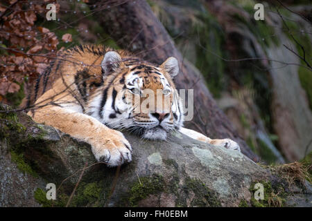 Male Amur (Siberian) tiger lying on rock, looking bored - Stock Photo