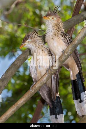 Guira cuckoos (Guira guira), captive (native to South America) - Stock Photo