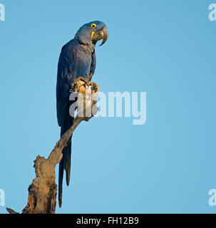 Hyacinth Macaw (Anodorhynchus hyacinthinus) sitting on dead branch, Pantanal, Mato Grosso, Brazil - Stock Photo