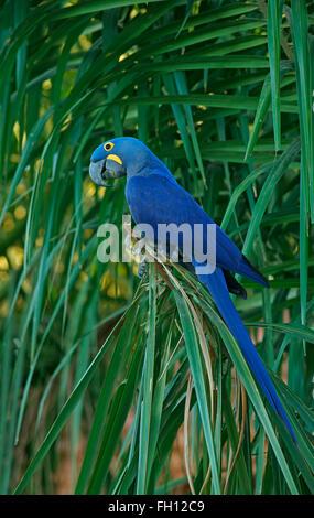 Hyacinth Macaw (Anodorhynchus hyacinthinus), Pantanal, Mato Grosso, Brazil - Stock Photo
