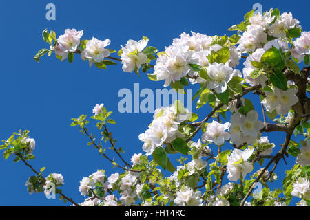Branch of a blossoming apple tree against blue sky in close-up - Stock Photo