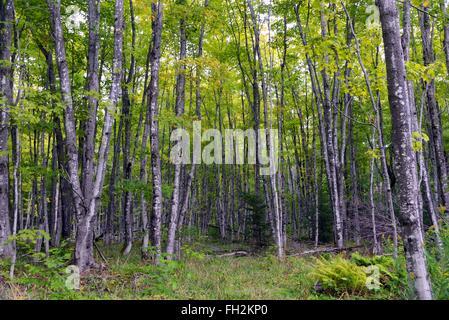Birch trees, Pictured Rocks National Lakeshore, Michigan - Stock Photo