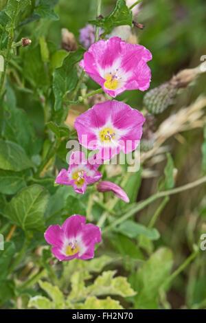Field Bindweed  (Convulvulus arvensis) - Stock Photo