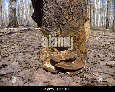 piece of bark, a tree stump. On a glade in the forest - Stock Photo