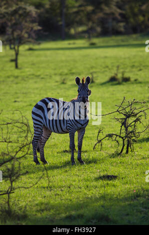 A lone zebra looking at the camera in the golden light of the sunset - Stock Photo