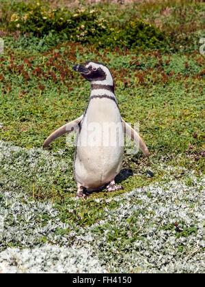 Picture taken at the Seno Otway Penguin Colony near Punta Arenas, Chile. - Stock Photo