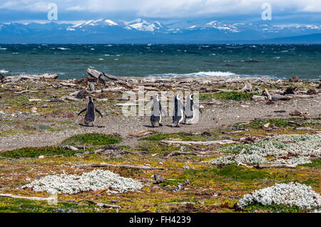 Many Magellanic penguins in natural environment on Seno Otway Penguin Colony near Punta Arenas in Patagonia, Chile - Stock Photo
