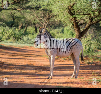 Burchell's Zebra in the Northern Cape, South Africa - Stock Photo