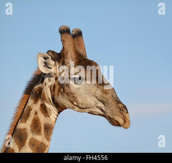 Closeup head shot portrait of a Giraffe - Stock Photo