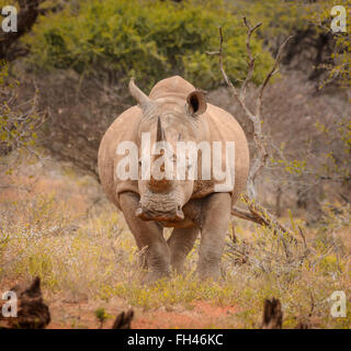 White Rninoceros in the Northern Cape, South Africa - Stock Photo