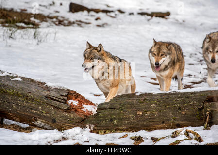 Gray wolves / grey wolf (Canis lupus) pack on the hunt running over fallen tree trunk in forest in the snow in winter - Stock Photo