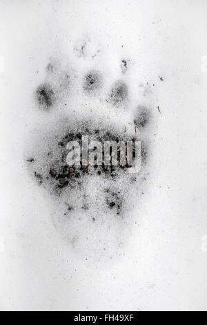 Eurasian brown bear (Ursus arctos arctos) footprint of hind foot showing toes, pads and claw marks in the melting - Stock Photo