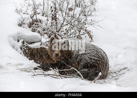 Brown bear (Ursus arctos arctos) entering den during snow shower in autumn / winter - Stock Photo