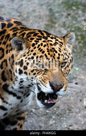 Close up of a snarling jaguar wild cat. - Stock Photo