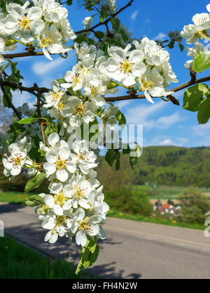 Branch of a blossoming pear tree in close-up near a village - Stock Photo